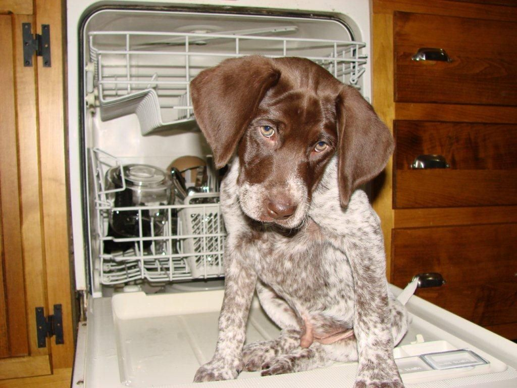 """Our German Short Haired Puppy """"Duke"""" on dish duty. Colleen"""