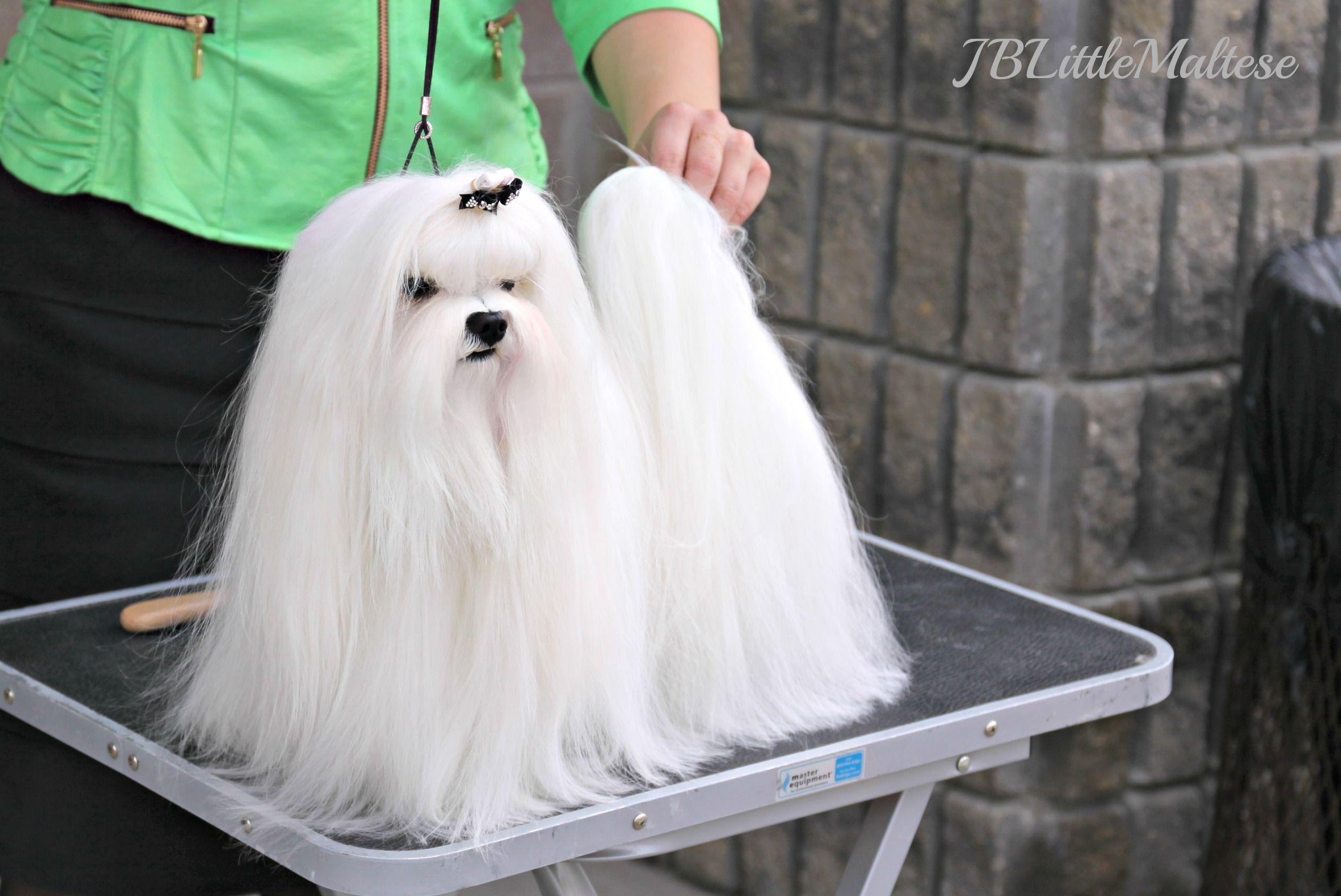 Canadian Grand Champion Jblittle Amigo S Bandito Is A Top Show Dog