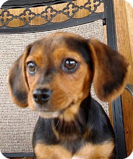Yardley, PA Beagle/Dachshund Mix. Meet Cori a Puppy for