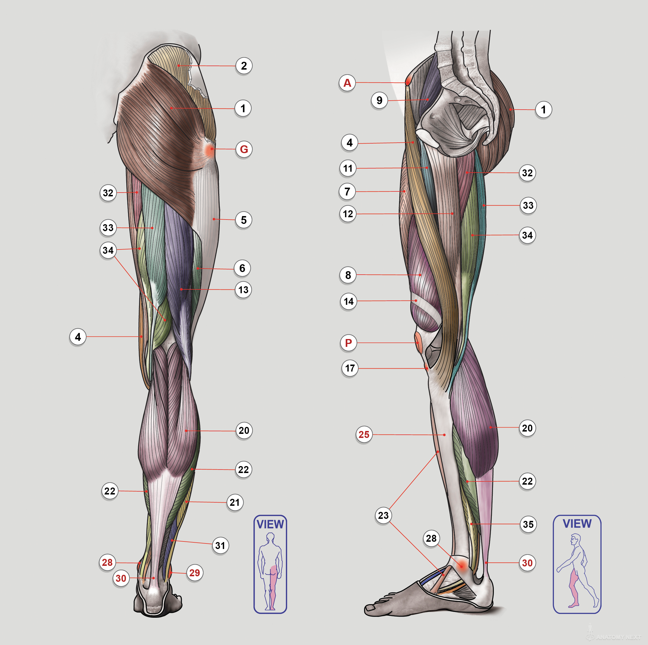 Anatomy Next - Anatomy of Lower limb: Anatomy & features | Anatomy ...