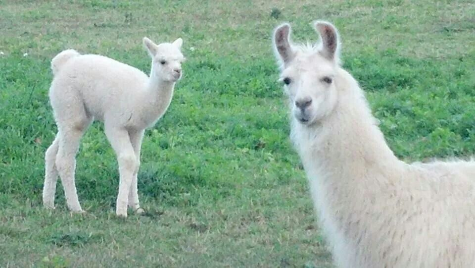 My Guard Llama Cashmere Watching Starfyre The Baby Alpaca Oct 2014 Baby Alpaca Alpaca Llama