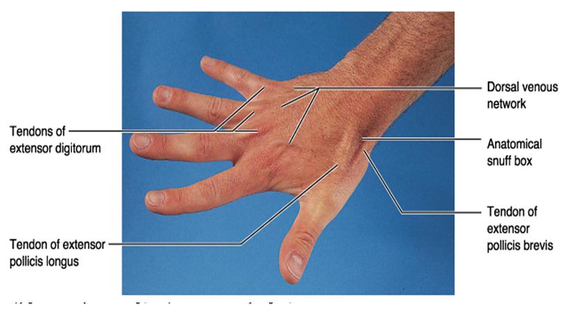 Thumb Surface Anatomy Diagram - Online Schematic Diagram •