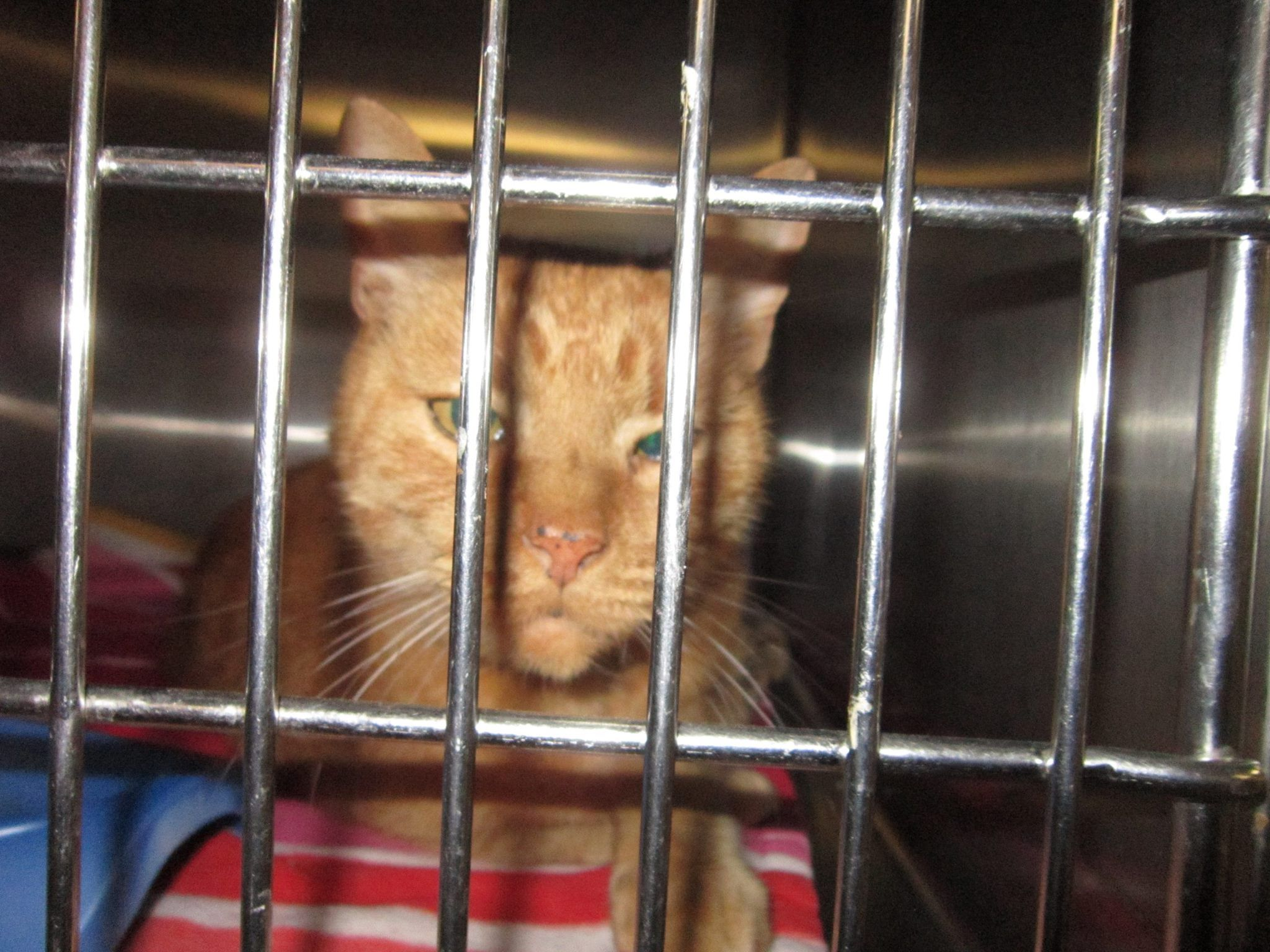 Middletown Animal Control added 2 new photos. October 29 at 3:58pm ·  This cat was found on Ridgewood Rd. in Middletown, CT after supposedly being struck by a car. His back is sore but he is doing ok. He was wearing a collar but has no tags or microchip. Please SHARE!!! Please call if you know who he is. 860-638-4030