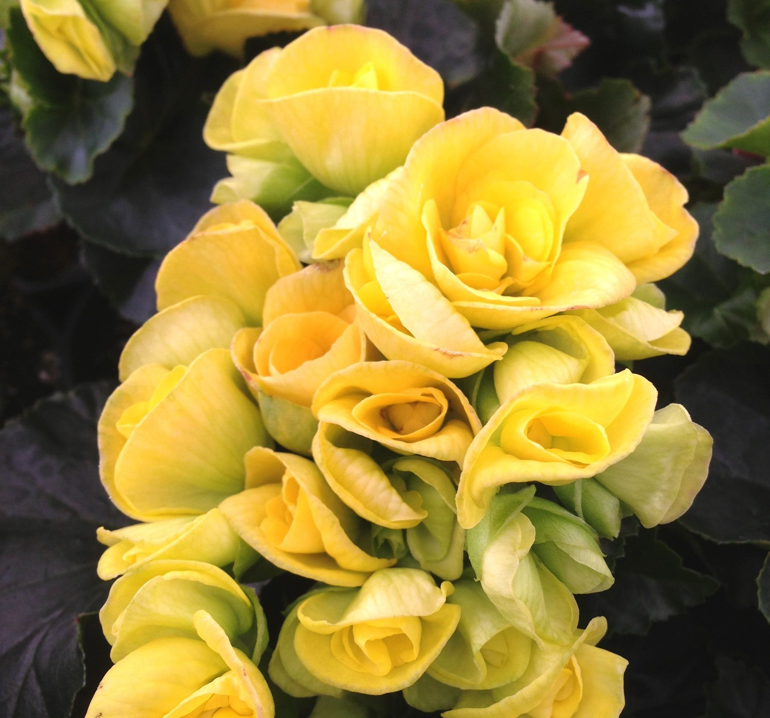 Begonia Elatior Blitz Is Loaded With Bright Yellow Flowers Begoniablitz Begonia Annual Plants Yellow Flowers Begonia