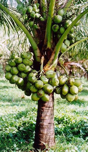 salak is an early dwarf coconut  cocos nucifera  variety that produces small  rather circular