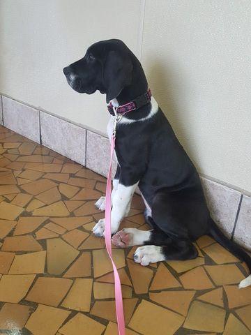 Great Dane Puppy For Sale In Ocala Fl Adn 29069 On Puppyfinder