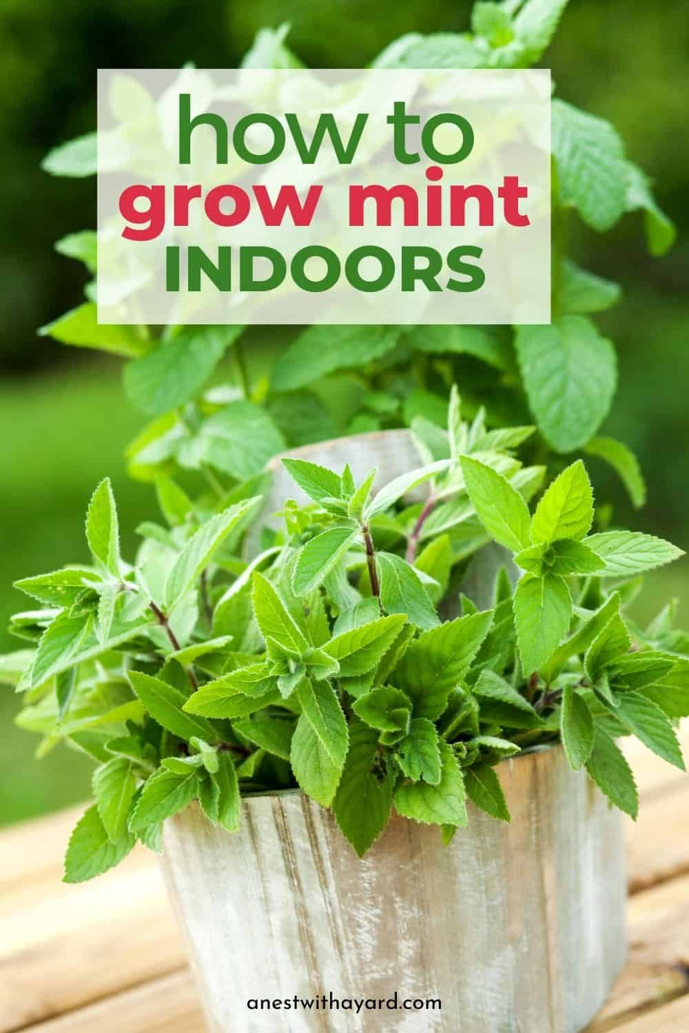 Growing Mint Indoors 2020 Proper Watering And Care A Nest With A Yard In 2020 Growing Mint Indoors Growing Mint Mint Plants