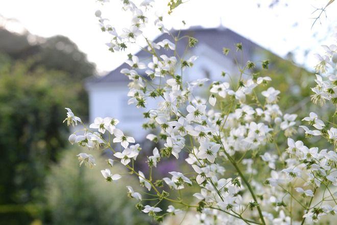 Artemisia lactiflora ivory wish list 2916 landskape pinterest artemisia lactiflora ivory wish list 2916 mightylinksfo