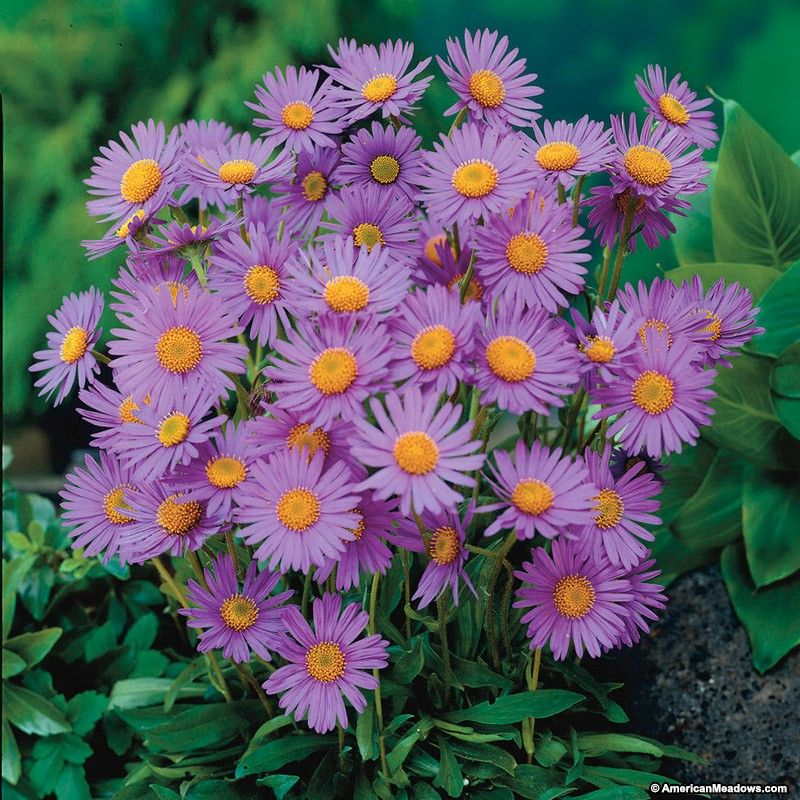 Wood S Purple Aster Purple Perennials Perennials Plants