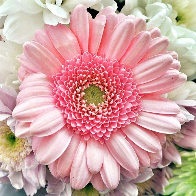 Mysundayphoto Gerbera Gerbera Gerbera Flower Uk Landscapes