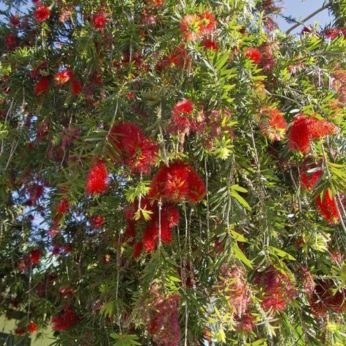 Callistemon plantes et v g tation plantes et fleurs - Arbre d ornement croissance rapide ...