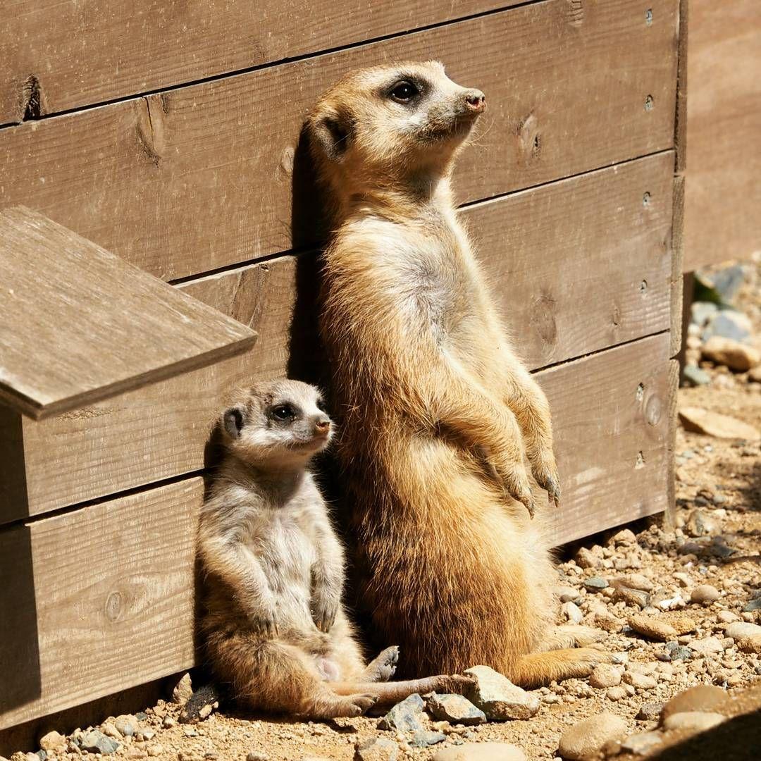 おかあさんと一緒 ひなたぼっこ 3月下旬の写真です 今はもっと大きくなってま す ヽ ノ 豊橋市 動物園 豊橋総合動植物公園 のんほいパーク アフリカ園 ミーアキャット Meerkat 親子 ひ Cute Animals Animals Amazing Baby Animals