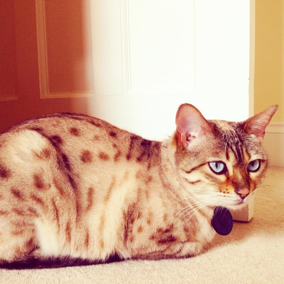 Lost Female Cat Blackfen Welling Greater London Found Cat