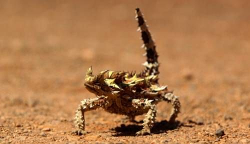 Thorny Dragon..<3