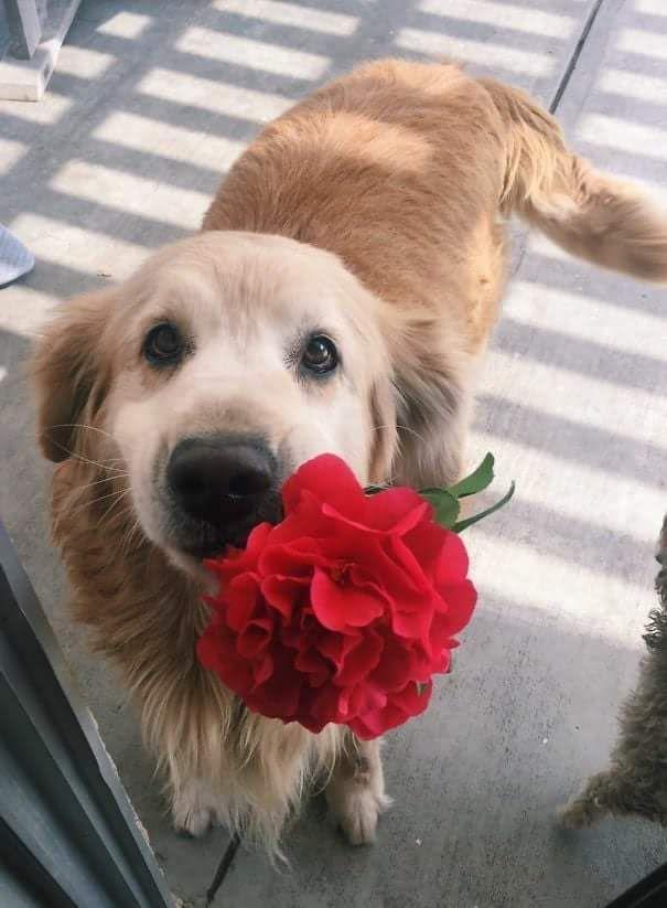 Photo of Encontró una rosa afuera y se la llevó a su dueño <3