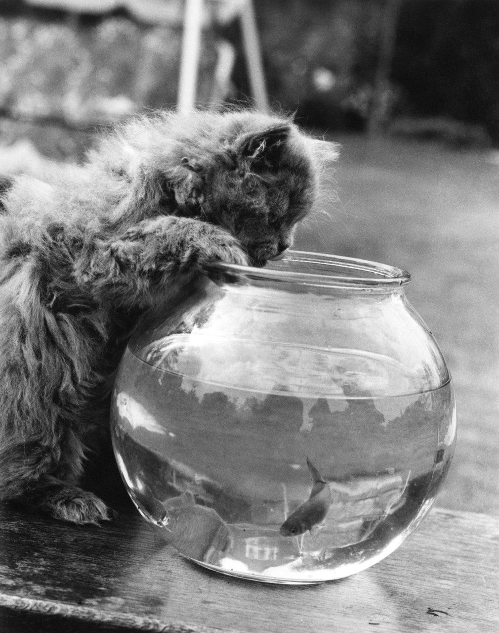 A seven-week-old Persian kitten peers into a goldfish bowl, 9th October 1972. © William Vanderson