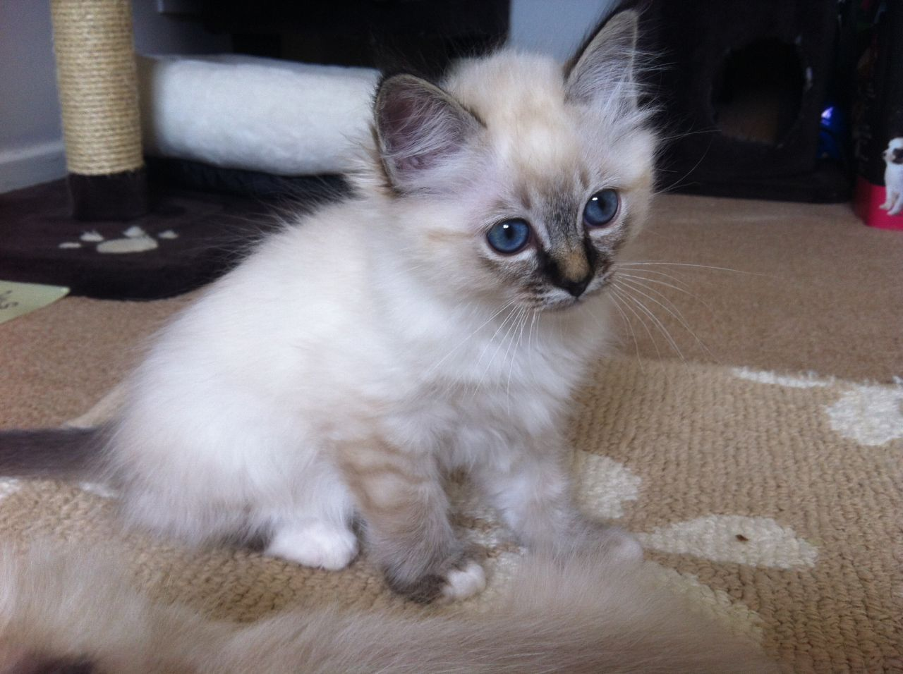 Ragdoll Cats For Sale Philippines