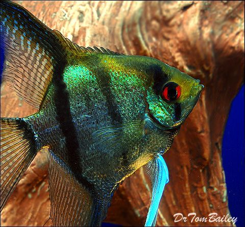 Green Angelfish | 18 Different Types Of Angelfish To Consider For Your Freshwater Fish