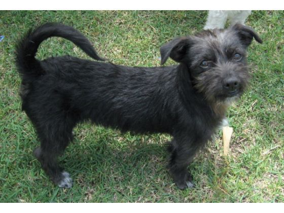 Shih Tzu Terrier Mix Scotty Terrier Mix Terrier Wire Haired