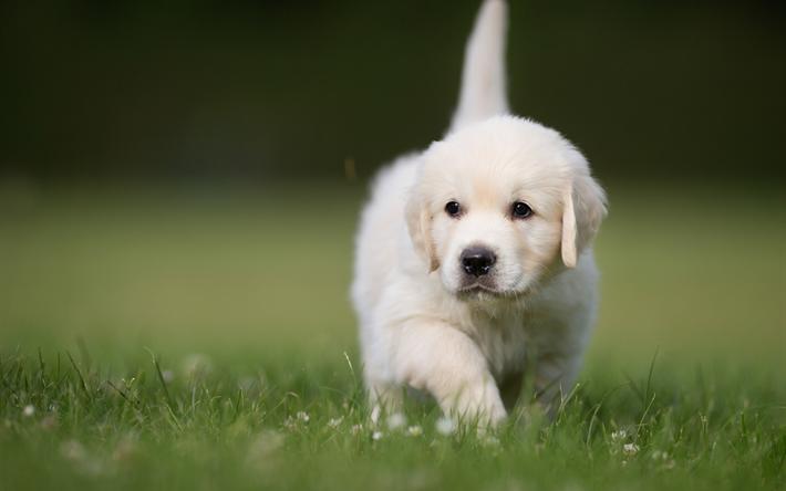 Download wallpapers golden retrievers 4k pets puppies - Cute golden retriever wallpaper ...