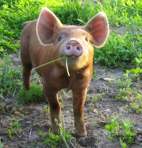 Http Serenitytranquality Tumblr Com Post 119796684361 Tamworth Pig Pig Cute Piglets