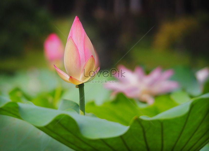 공장,꽃,녹색,분홍색,수영,쌈지,연꽃,조숙한,피부 관리,
