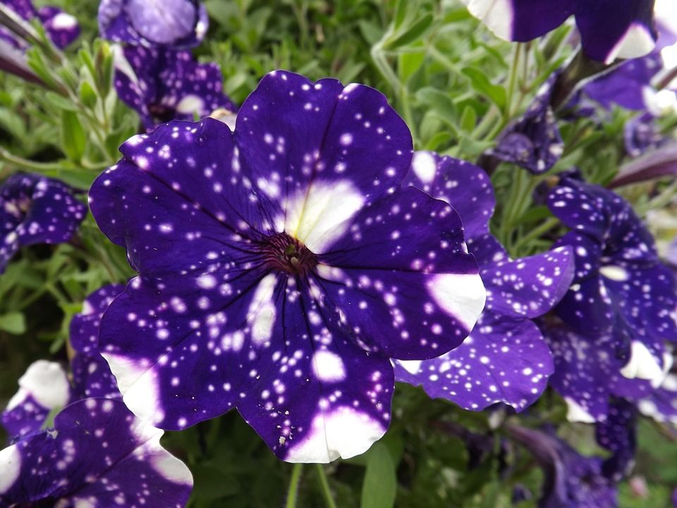 How To Make These Really Cool Galaxy Flowers For Your Yard In 2020 Night Sky Petunia Galaxy Flowers Petunias