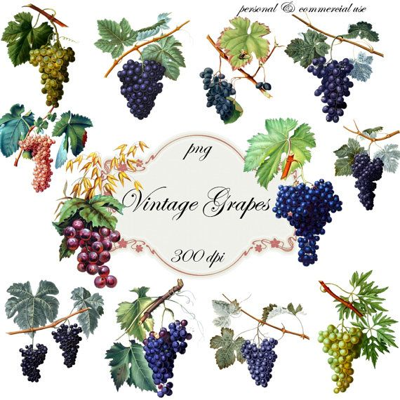 Clip Art Vintage Grapes   Png Digital Files no by graphicexpress, $3.00