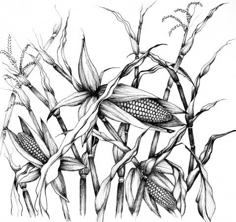 Pics For Corn Plant Drawing