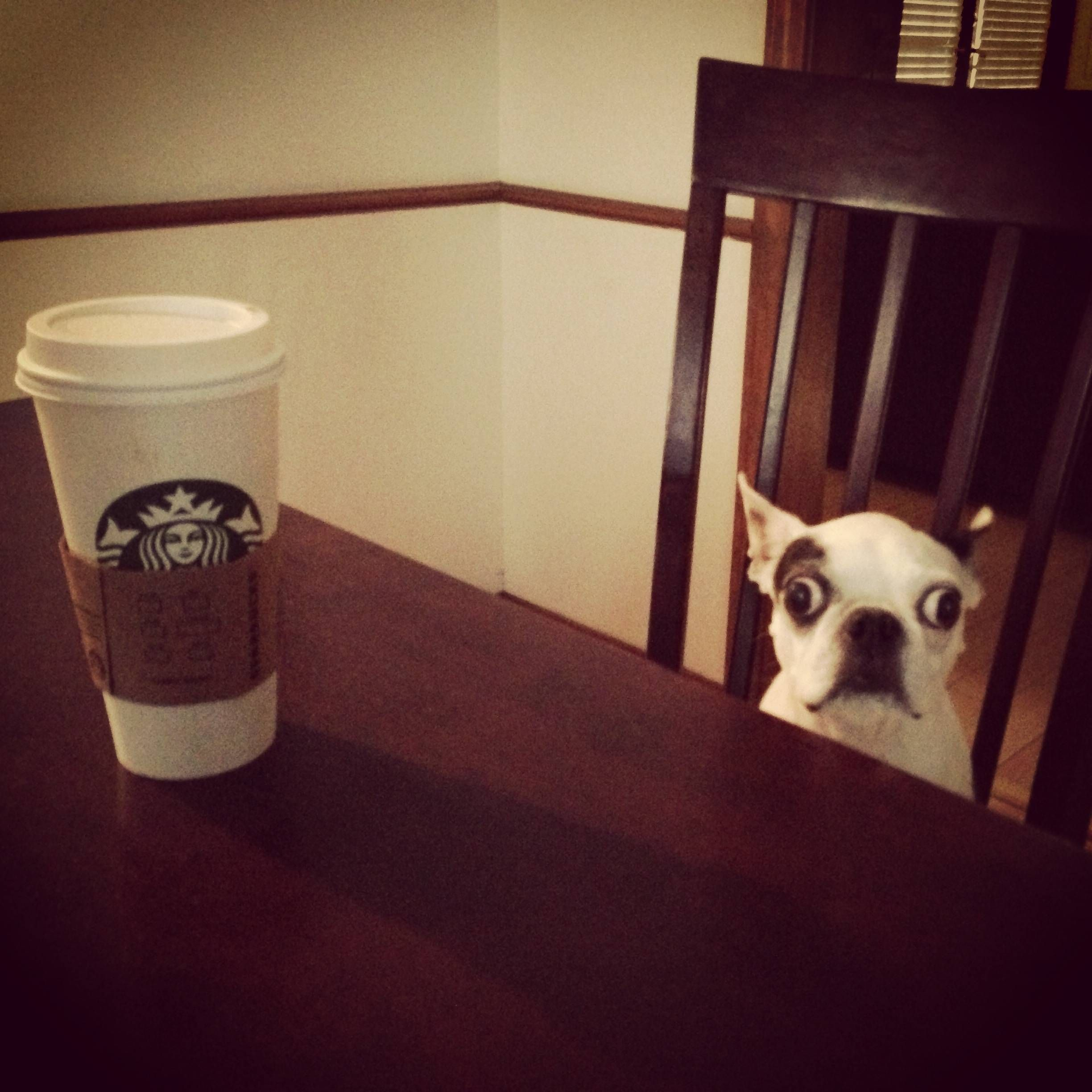My Dog Wanted To Sit Down For Some Coffee This Morning Looks Like She Drank Too Much Coffee Humor Coffee Photos Pugs Funny