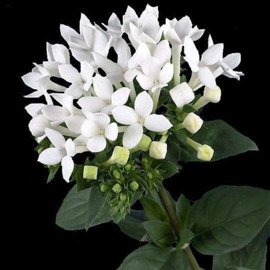 White Ones Bouvardia Flowers September Flowers October Flowers