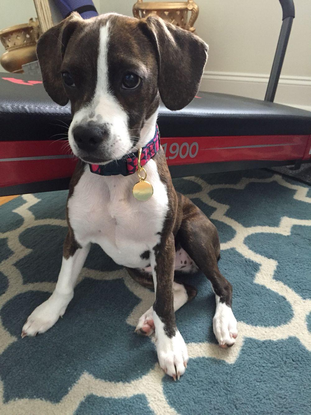 Boglen Terrier Terrier Boston Terrier Pitbull Terrier