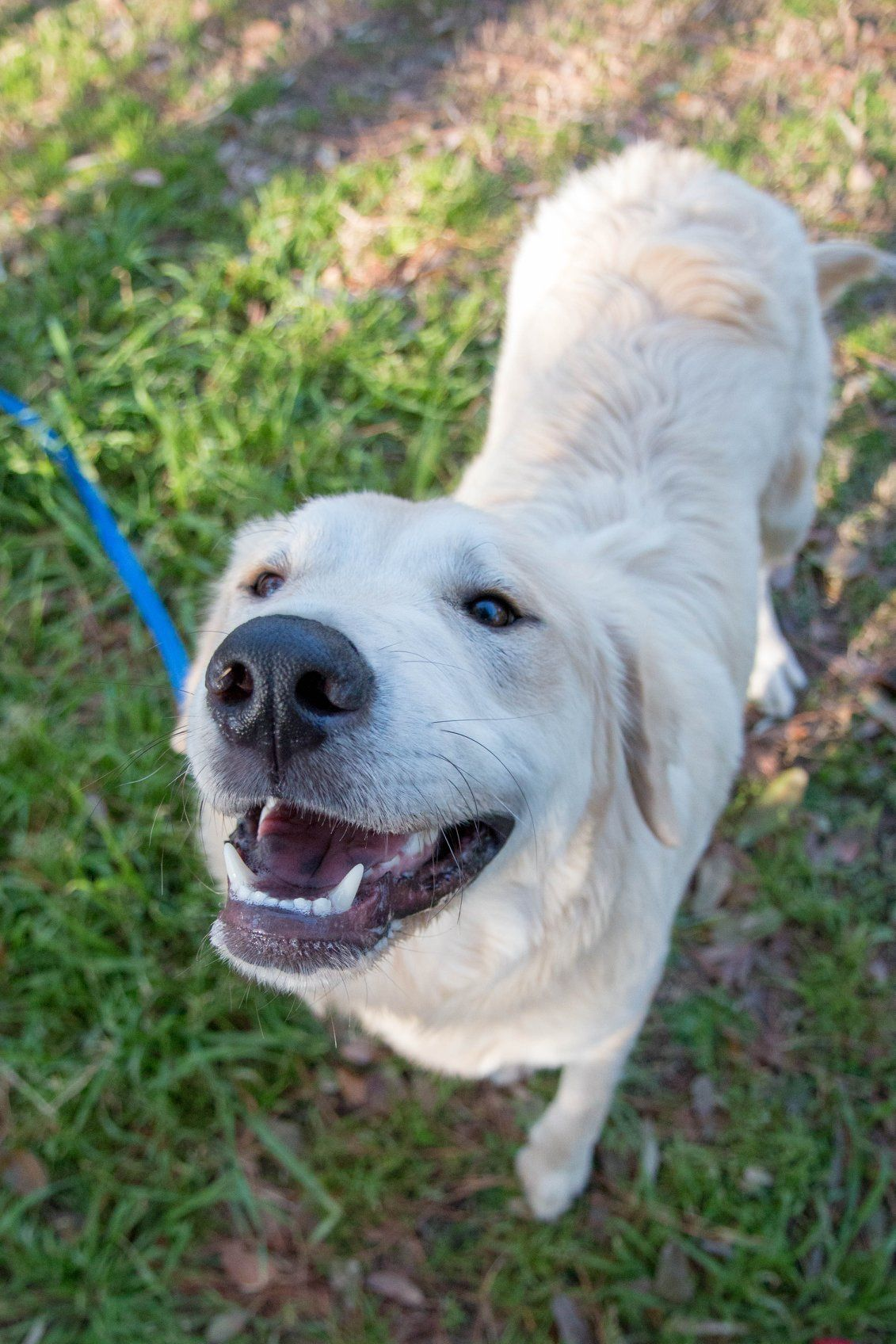 Chewy 2 Great Pyrenees Retriever Mix Labrador Retriever