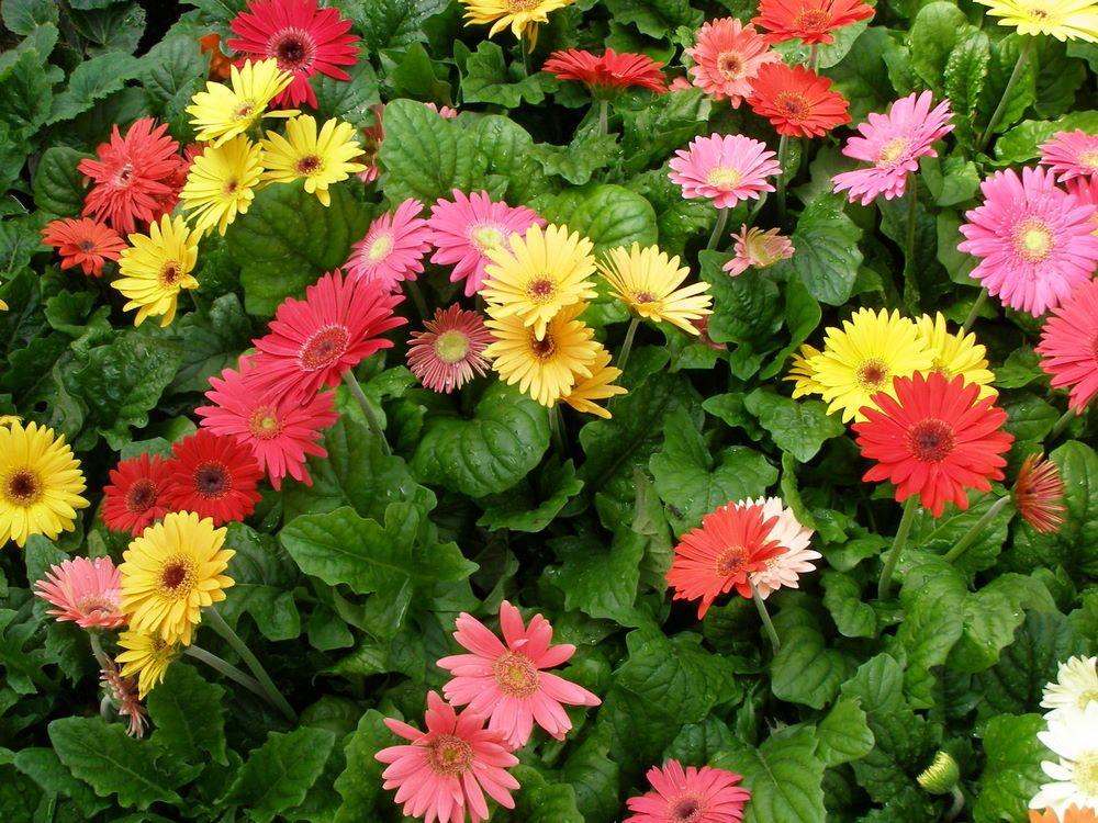 Yellow Gerbera Daisy Plant Gerbera Daisy Gerbera Flower