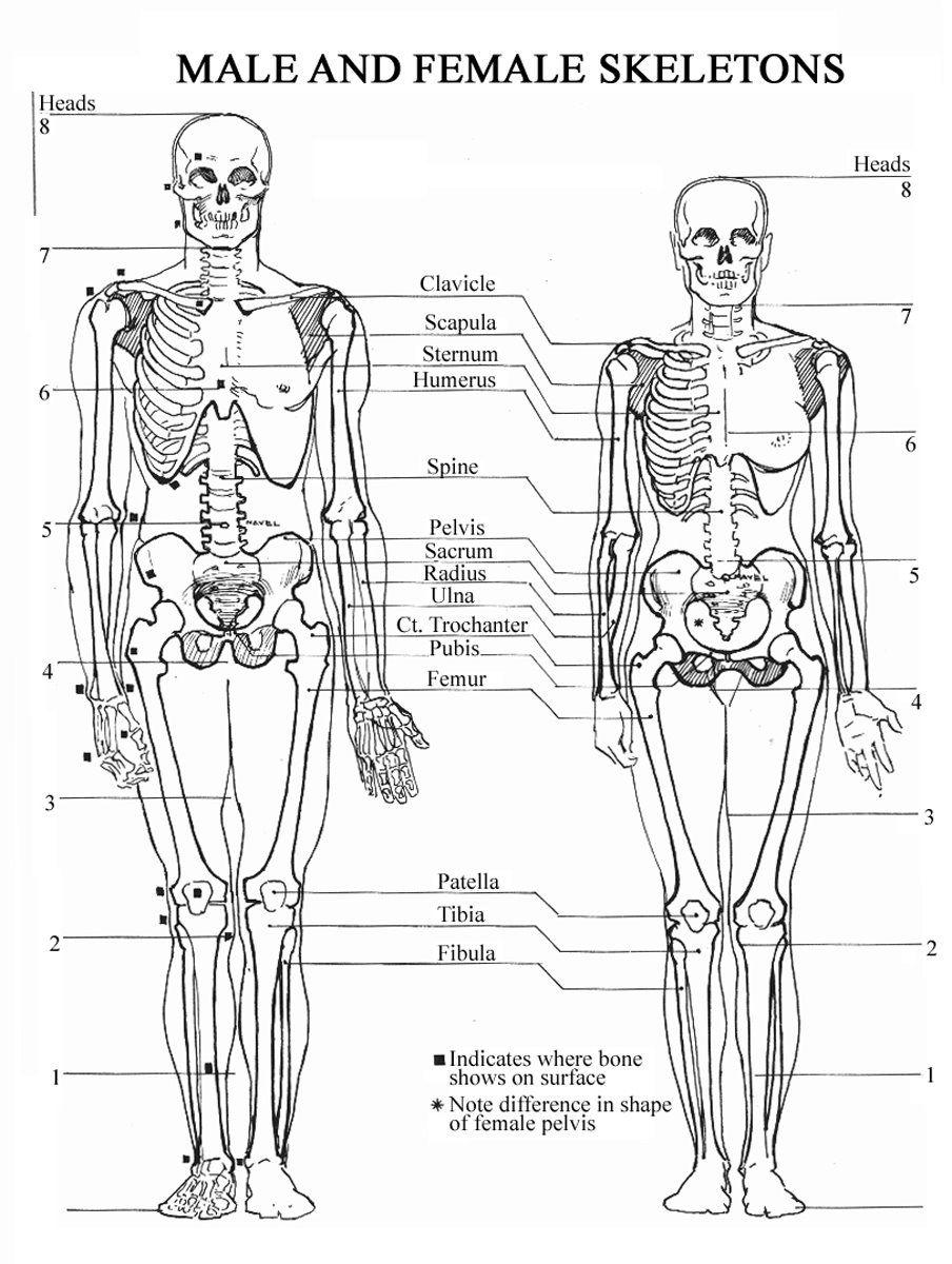 Skeleton+male+female.jpg]   art reference   Pinterest   Art ...