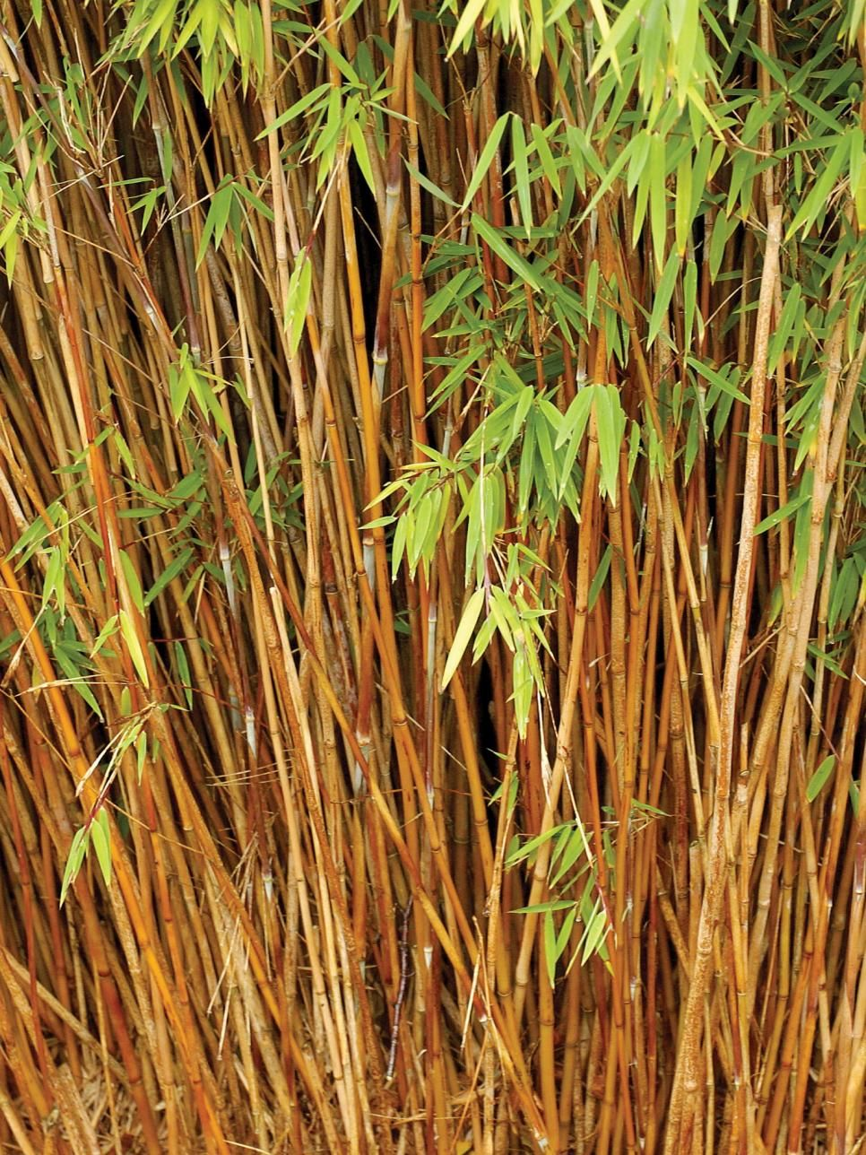 Fountain Bamboo The fountain bamboo has slender, purple-green canes topped  by narrow, mid-green leaves. It is compact and slow-growing.