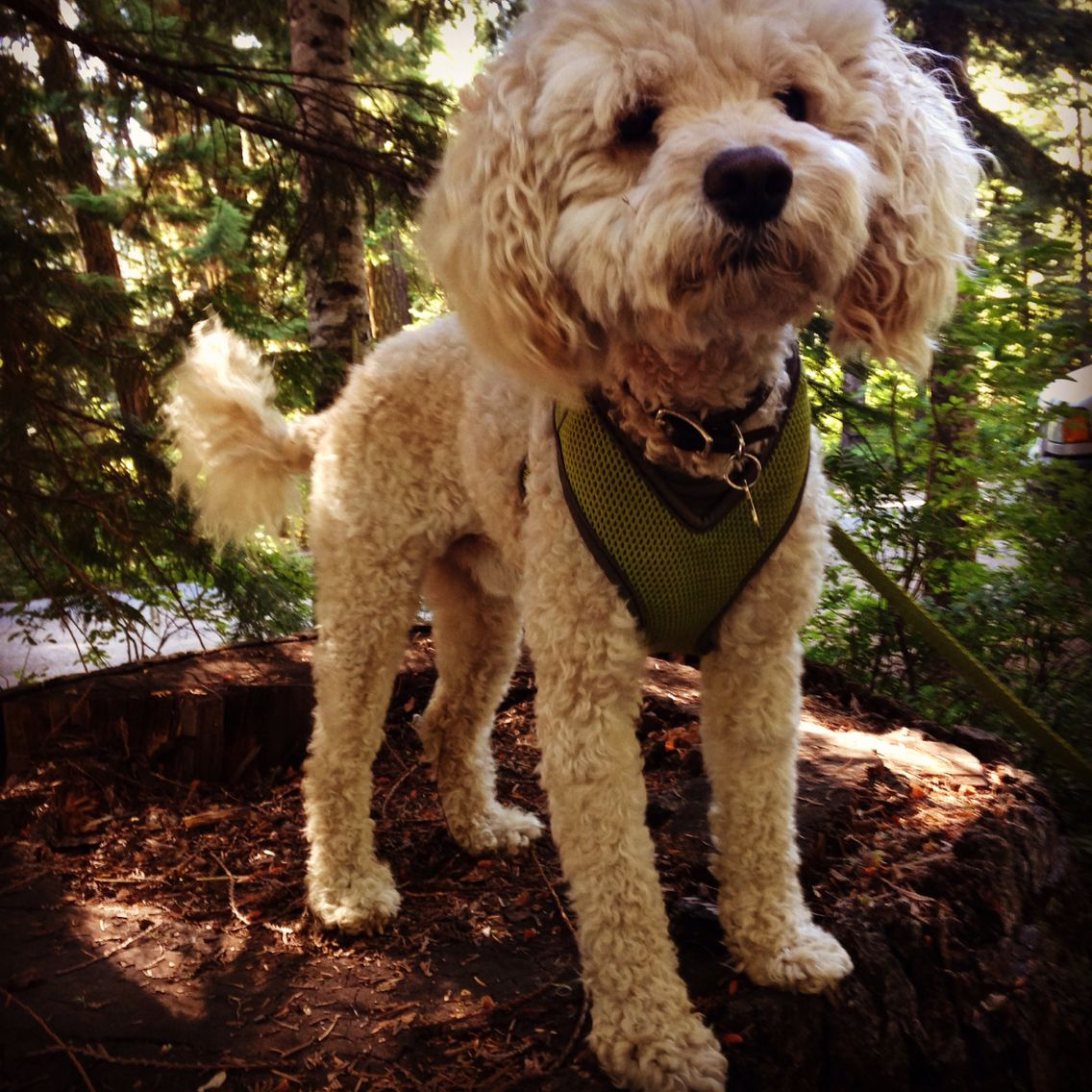 Kenwood The Bich Poo Best Dogs Poodle Animals
