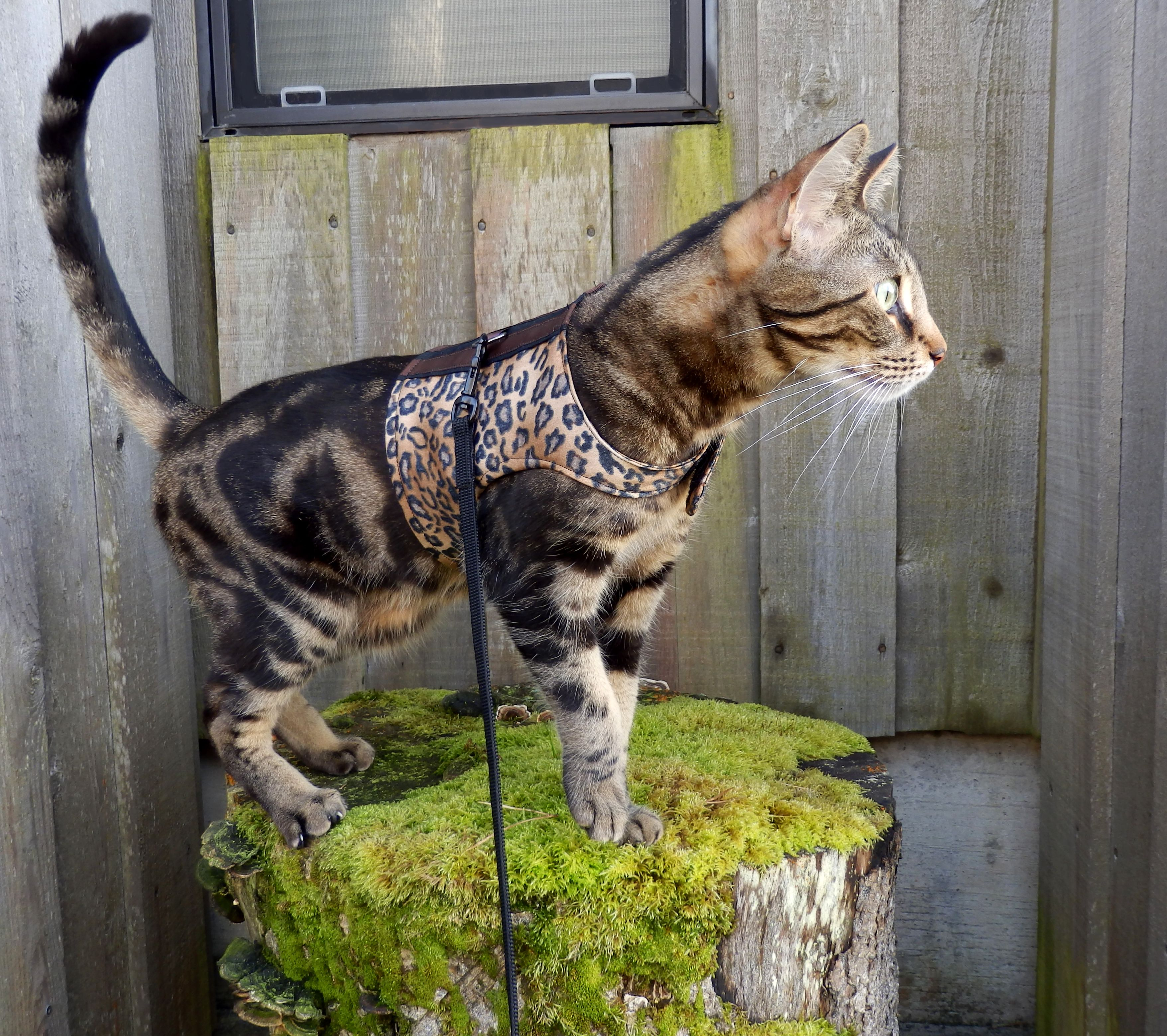 ZAK Marble Tri Color Bengal in his new Walking Jacket