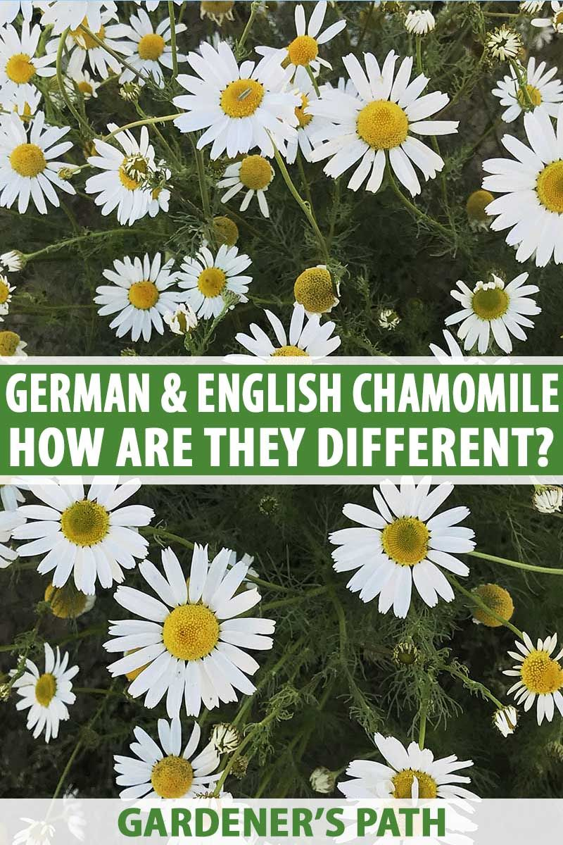 Differences Between English And German Chamomile Gardener S Path Chamomile Plant Fall Garden Vegetables Florida Gardening