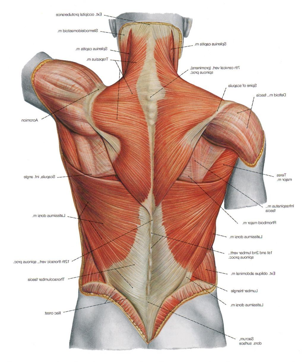 diagram back muscles upper back human anatomy diagram – anatomy, Human Body