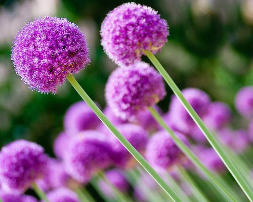 Allium Flower Pictures Purple Allium Flower Bulbs Allium Flowers Bulb Flowers Flowers