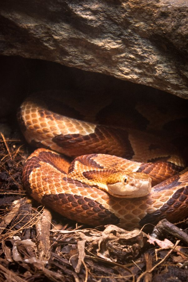 Copperhead By Josh Goldberg 500px Cute Snake Beautiful Snakes Reptile Snakes
