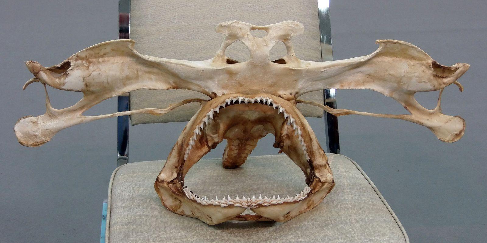 9916 hammerhead shark (シュモクザメ) skull
