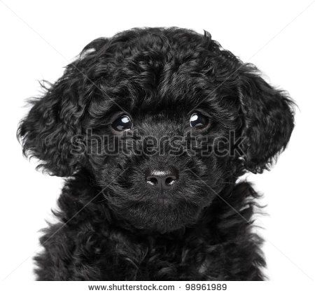 Black Toy Poodle Puppy 6 Week Close Up Portrait On A White