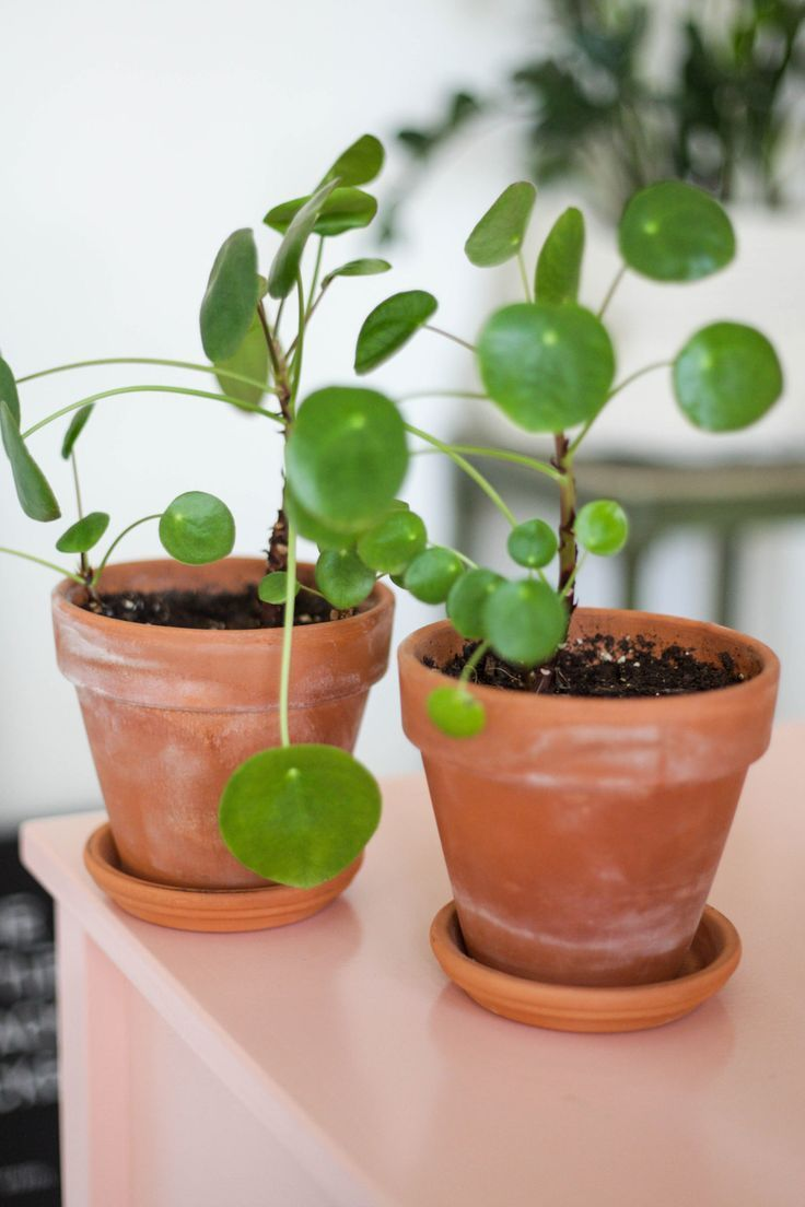 Chinese money pilea plant care tips plants chinese