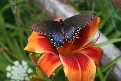 Butterfly on Day Lily Royalty Free Stock Photo