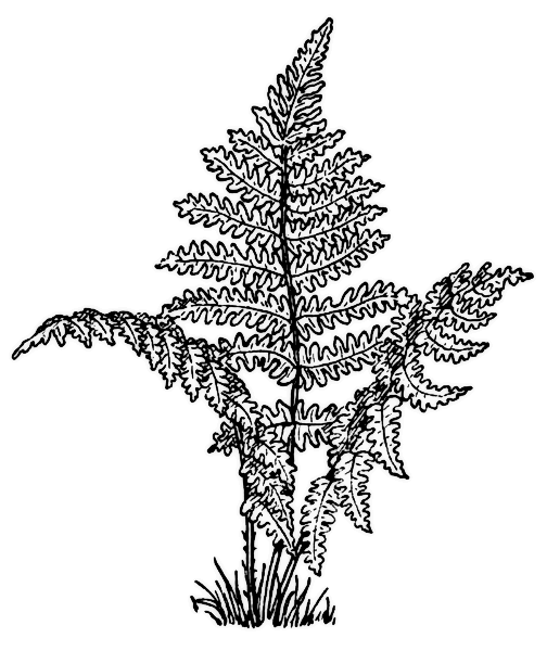 Color Pages Of Ferns Fern Coloring Picture Plant Clips Fern Plant Tree Coloring Page