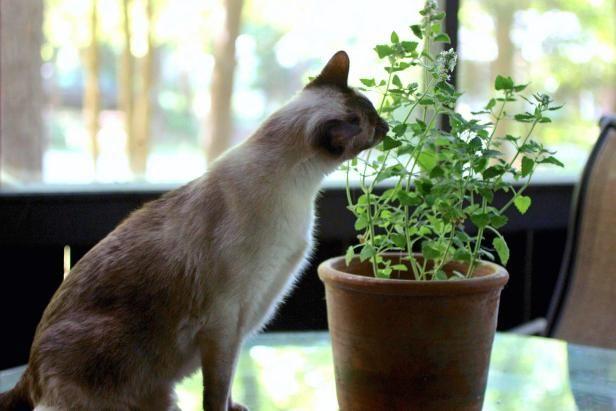 7 Plants To Grow For Cats Cat Plants Cat Safe Plants Catnip Plant