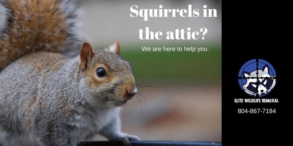 Do You Hear Noises Within Your Attic Have You Seen Evidence Of Squirrels Around Your Home Give Elite Wildlife Removal A With Images Wildlife Squirrel Animals