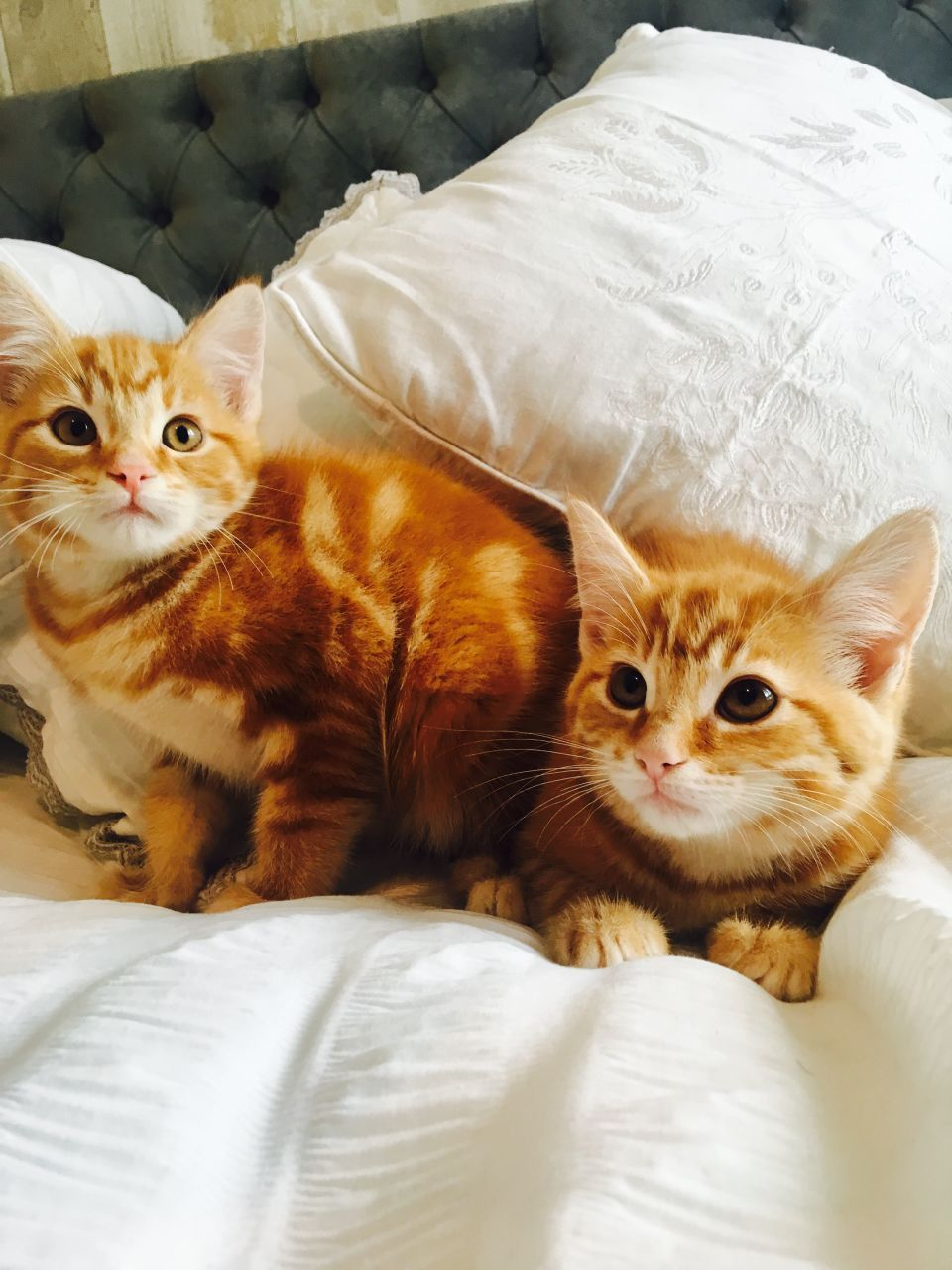 Found on Bing from www.pets4homes.co.uk Ginger cats